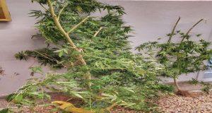 Αγρίνιο: Συνελήφθη 37χρονος για καλλιέργεια δενδρυλλίων κάνναβης στο σπίτι του