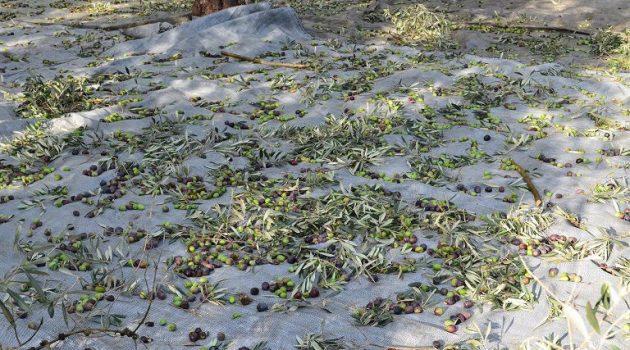 Μάζεμα ελιάς: Χρήσιμες συμβουλές προς τους παραγωγούς – Τι ισχύει στην Αιτωλοακαρνανία