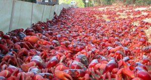 Αυστραλία: Κόκκινα καβούρια στους δρόμους