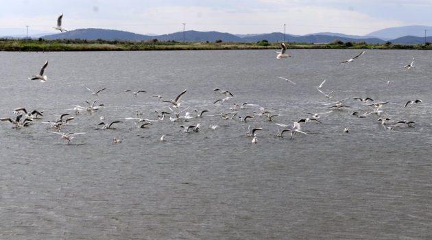Λιμνοθάλασσα Μεσολογγίου: «Το πέταγμα των γλάρων»