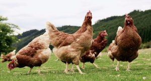 Ένωση Αγρινίου: Εκτροφή Πουλερικών για παραγωγή κρέατος