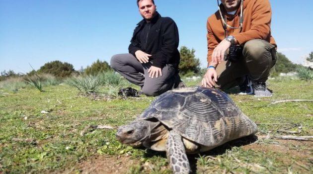 Αιτωλοακαρνανία: Η Κρασπεδωτή ή Βουνίσια χελώνα (Photos – Video)