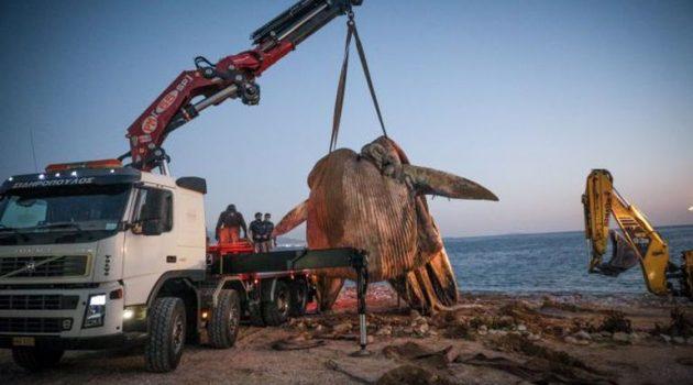 Φάλαινα στον Πειραιά: Οι γίγαντες των ελληνικών θαλασσών