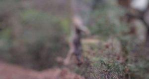 Δασαρχείο Μεσολογγίου: Καταγγελία για λύκο κρεμασμένο σε δέντρο