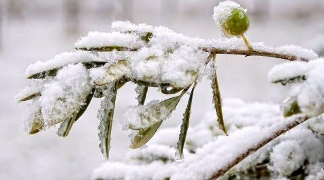 Τρόποι αντιμετώπισης των ζημιών στην ελιά από παγετούς