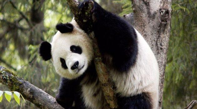 WWF: Γιορτάζει σήμερα το γιγάντιο πάντα, σύμβολο της Οργάνωσης