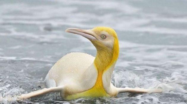 Φωτογράφος απαθανάτισε έναν εξαιρετικά σπάνιο κίτρινο πιγκουίνο (Photo)