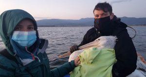 «Μαΐστρος»: Αργυροπελεκάνος με πομπό στη Λιμνοθάλασσα Κλείσοβας (Photos)