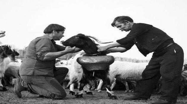 Ξηρόμερο: Τη Μεγάλη Πέμπτη οι τσοπάνηδες αρμάτωναν τα γιδοπρόβατα (Photos)