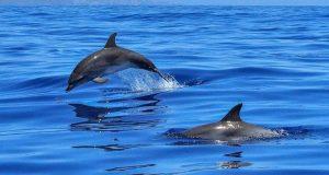 Ναύπακτος: Δελφίνια «παίζουν» πολύ κοντά στην παραλία της Ψανής (Video)