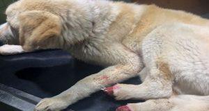 Αγρίνιο – Φρικτό θέαμα: Έκοψαν τις πατούσες σκύλου (Σκληρές Εικόνες)