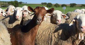 Συνδεδεμένες: Καθορίστηκαν τα ποσά για βοοειδή και αιγοπρόβατα