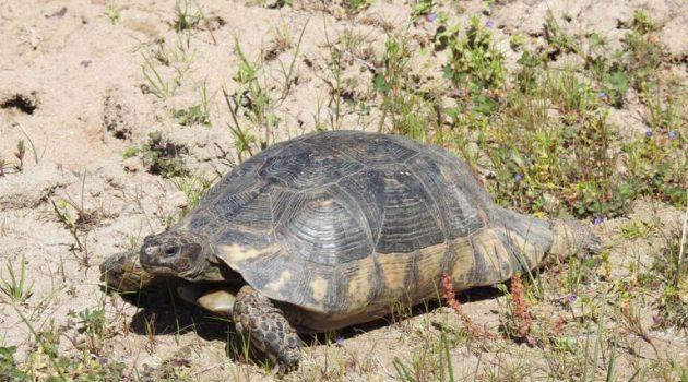 Εθνικό Πάρκο Λιμνοθαλασσών Μεσολογγίου – Αιτωλικού: Καταγραφή κρασπεδωτής χελώνας