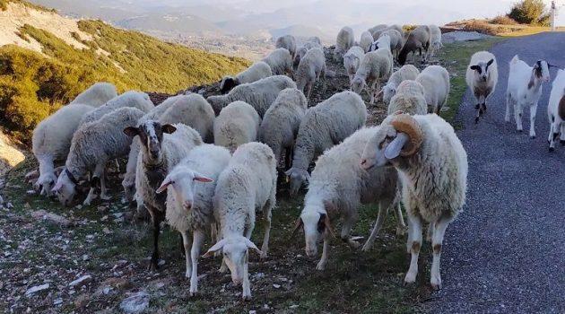 Πληρωμές 80 εκατ. ευρώ για σε βοοειδή και αιγοπρόβατα