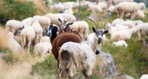 Καθορίστηκαν τα Ειδικά Δικαιώματα σε βοοειδή και αιγοπρόβατα