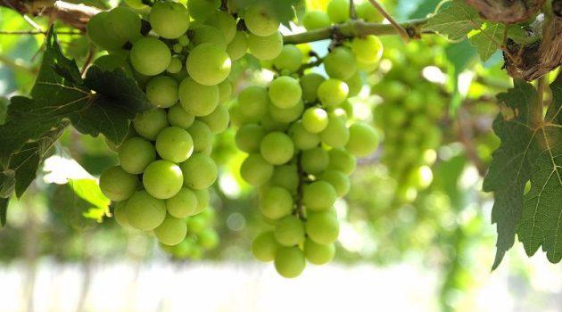 Μειώνονται οι επιλέξιμοι αιτούντες στο Μέτρο του Πράσινου Τρύγου
