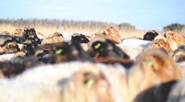 Ένωση Αγρινίου – Παραφυματίωση: Όσα πρέπει να γνωρίζουν οι Κτηνοτρόφοι