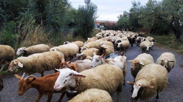 Ένωση Αγρινίου: Διοικητικές Πράξεις Διόρθωσης για τους «κομμένους» κτηνοτρόφους