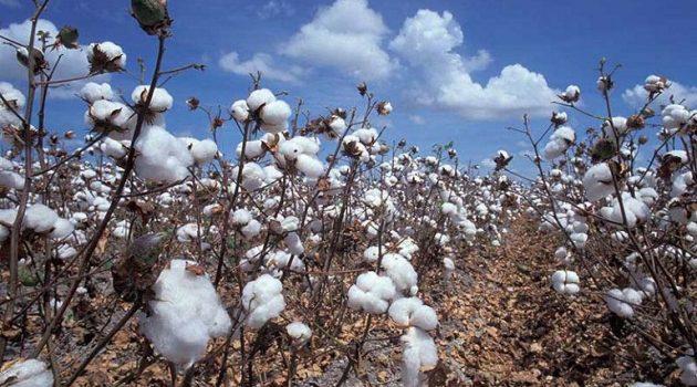 Βαμβάκι: Αναμένεται αύξηση σε παραγωγή, κατανάλωση και εμπόριο