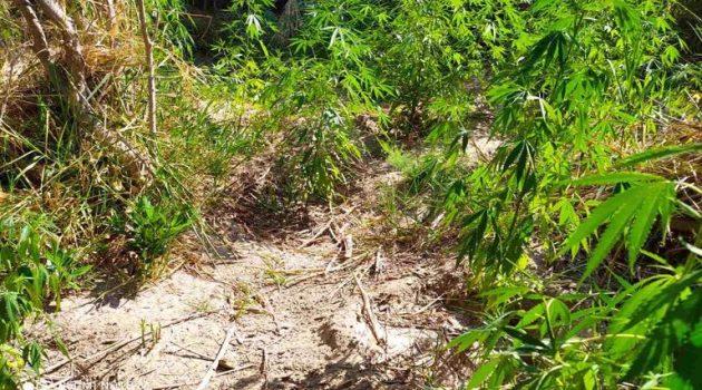 Αιτωλοακαρνανία: Συνελήφθησαν δύο καλλιεργητές ναρκωτικών (Photos)