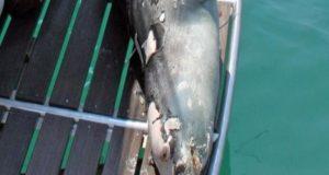 Σκότωσαν τον «Κωστή», τη φώκια της Αλλονήσου