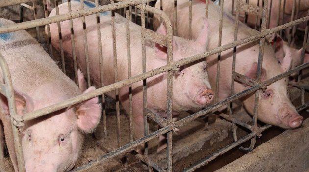 Σταδιακή κατάργηση των κλουβιών για τα εκτρεφόμενα ζώα