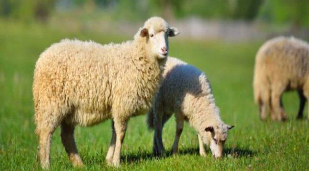 Π.Δ.Ε.: Οδηγίες προς κτηνοτρόφους για την προστασία από τον καταρροϊκό πυρετό
