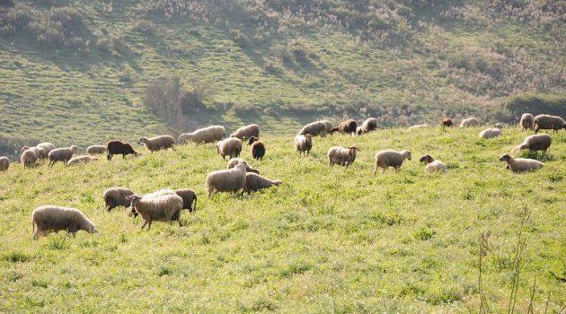 Σ.Ε.Κ.: «Άμεσα μέτρα για να σωθεί η κτηνοτροφία»