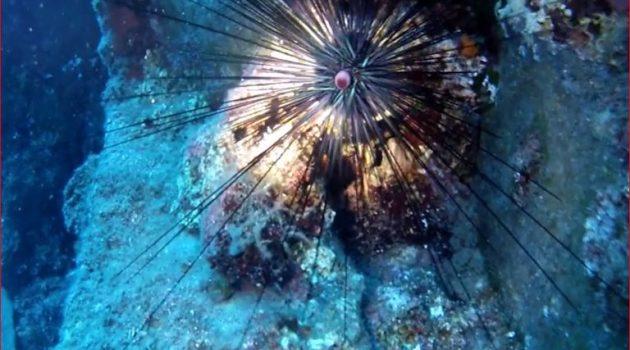 Δηλητηριώδης αχινός απειλεί τις ελληνικές θάλασσες (Video)