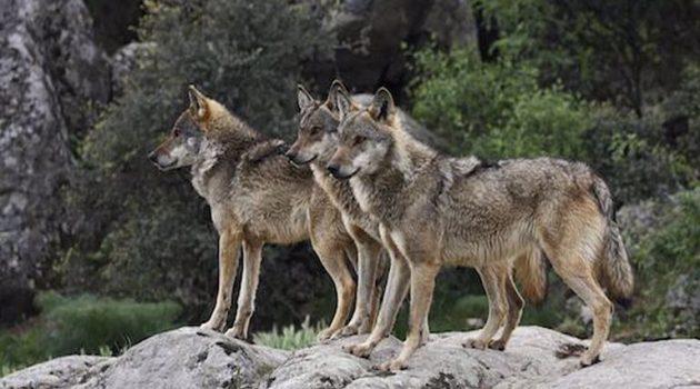 Νέα επιδρομή Λύκων στην Ορεινή Τριχωνίδα – Απελπισμένοι οι Κτηνοτρόφοι