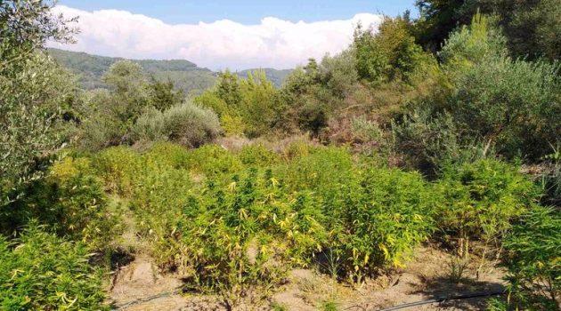 Εντοπίστηκε φυτεία δενδρυλλίων κάνναβης σε περιοχή της Ηλείας (Video – Photos)