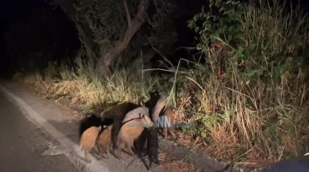 Ναυπακτία: Αγριογούρουνα κάνουν βόλτα στο δρόμο δίπλα σε σπίτια (Video)