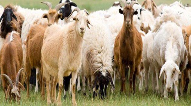 Αιγοπρόβατα: Εστίες ευλογιάς στην Τουρκία κοντά στα σύνορά μας