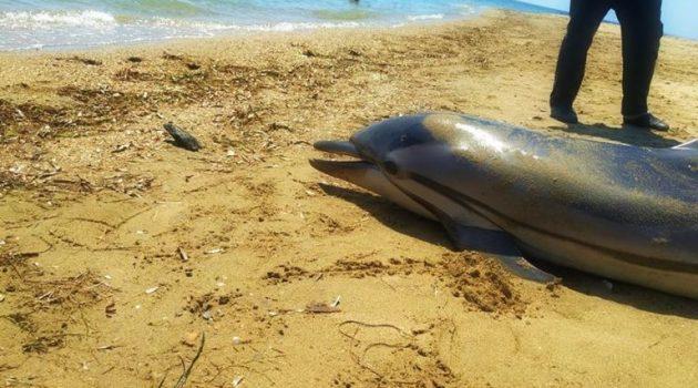Νεκρό δελφίνι «ξέβρασε» η θάλασσα στο Αντίρριο (Video)