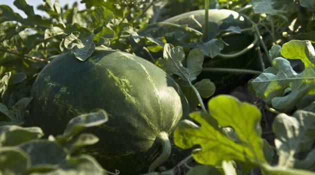 Αλλαγές στις ενισχύσεις για οπωροκηπευτικά, βουβαλοτροφία, επιτραπέζια ελιά, καπνά Βιρτζίνια