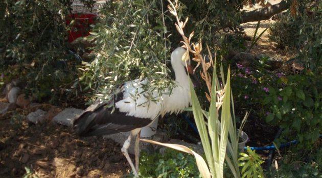 Περίθαλψη πελαργού και μπούφου στη Λιμνοθάλασσα Μεσολογγίου-Αιτωλικού (Photos)
